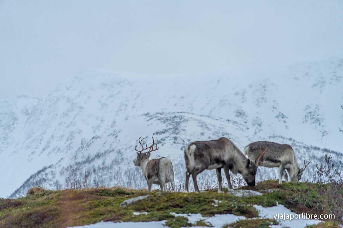 Renos en Noruega